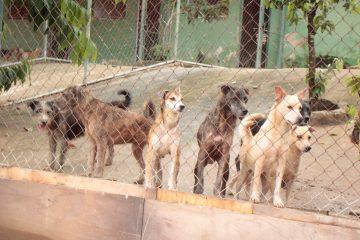 Cães da Fazenda Modelo aguardam por carinho e afeto de voluntários. Foto: divulgação / Subem