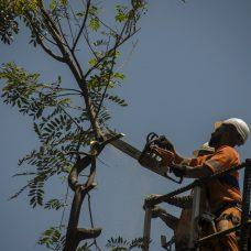 Garis podam árvore em Copacabana
