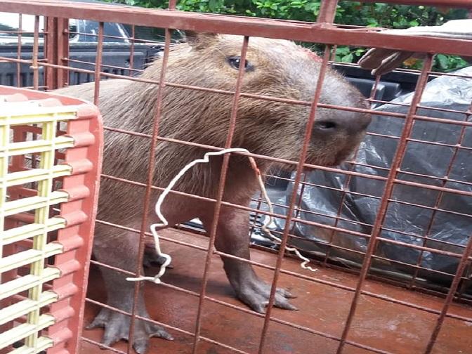 Capivara ferida foi resgatada por agentes ambientais da Prefeitura do Rip. Foto: divulgação